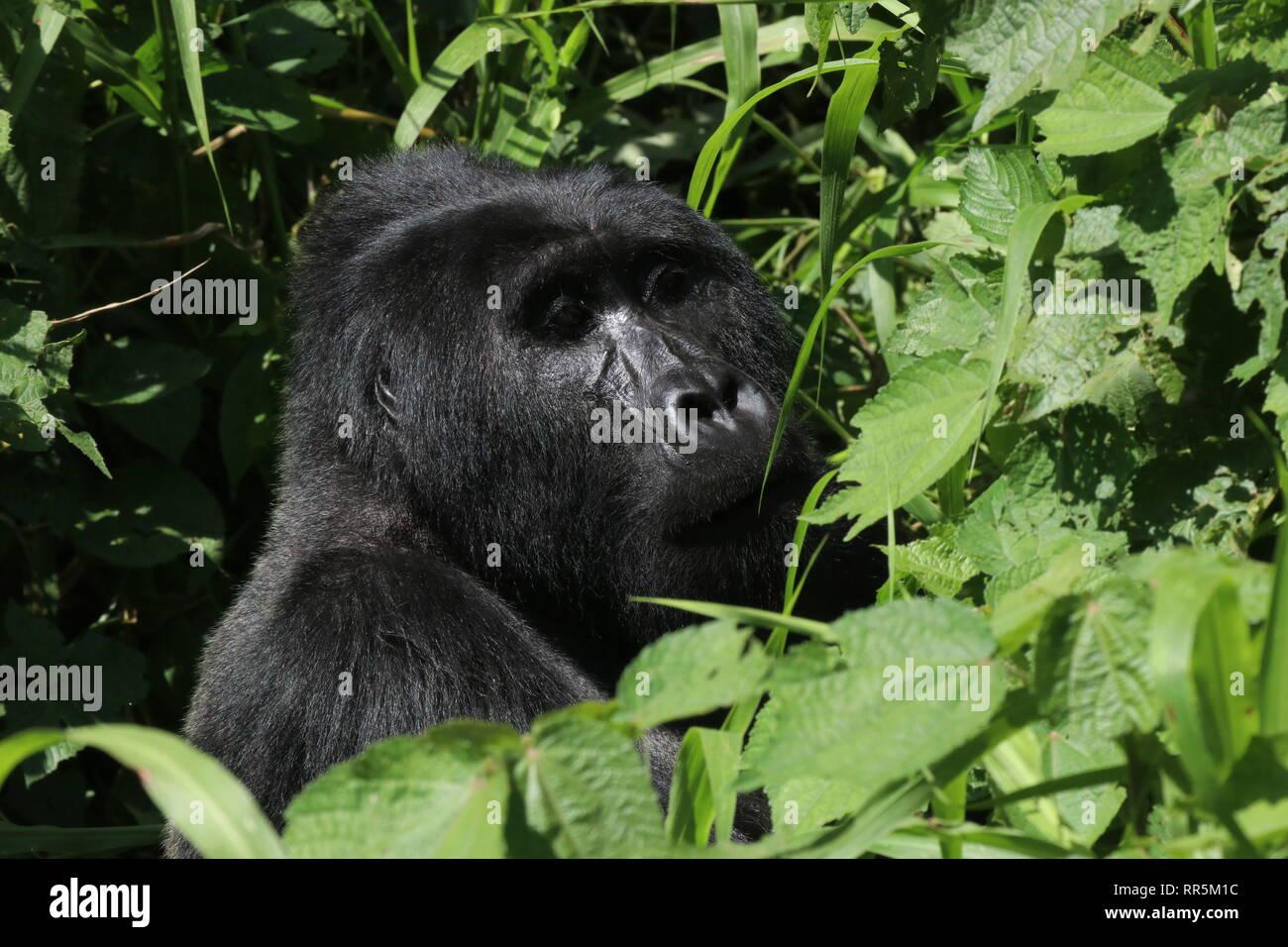 Berggorilla Silberrücken im Regenwald Bwinde Nationalpark Uganda Afrika Stockbild