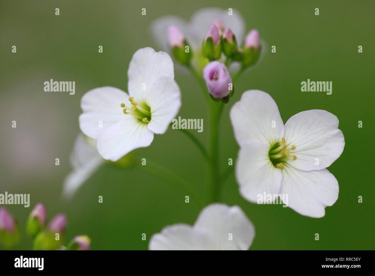 botanik wiesenschaumkraut cardamine pratensis wiesenschaumkraut schweiz additional rights clearance info not available
