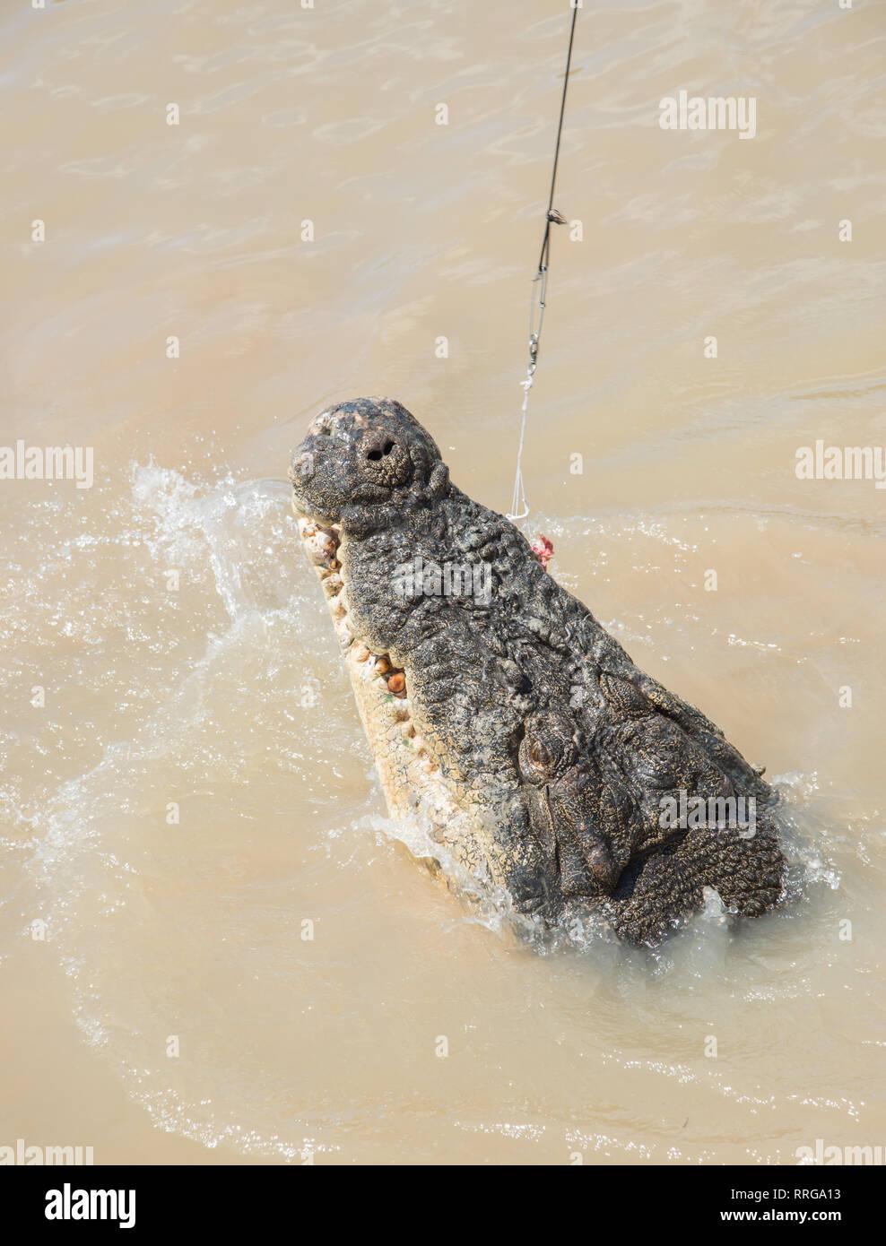 Australische Salzwasser Krokodil greifen rohes Fleisch aus Angelschnur in den Adelaide River im Mittelpunkt, Northern Territory, Australien Stockfoto