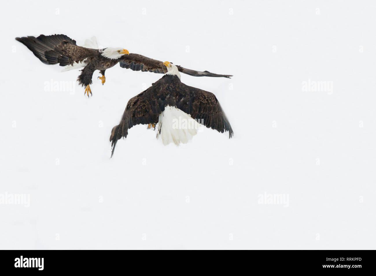 Weißkopfseeadler Aggression Stockbild