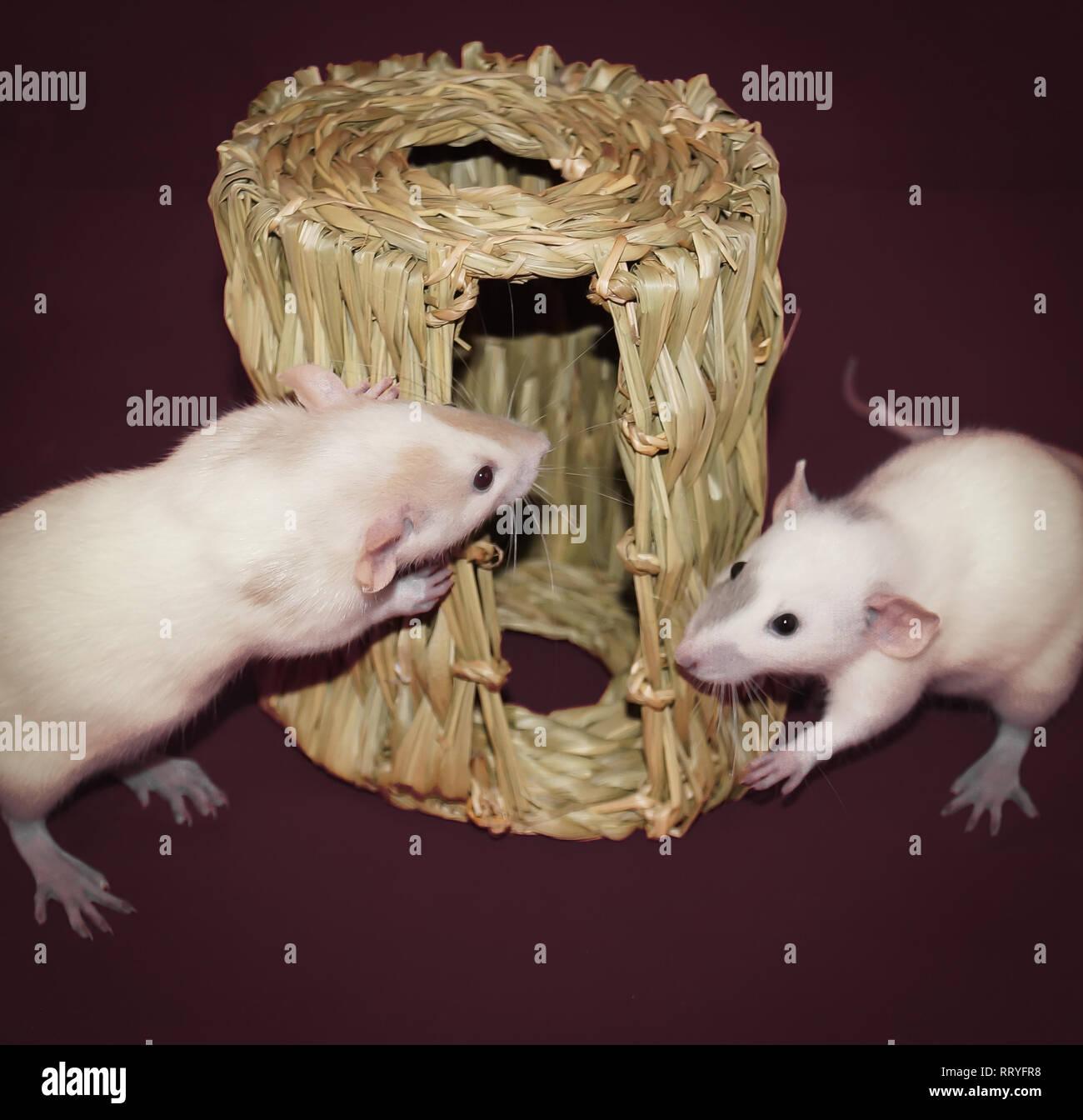 Weiß dumbo Ratten mit braunen und schwarzen Markierungen untersucht eine Heu kauen Hütte Stockbild