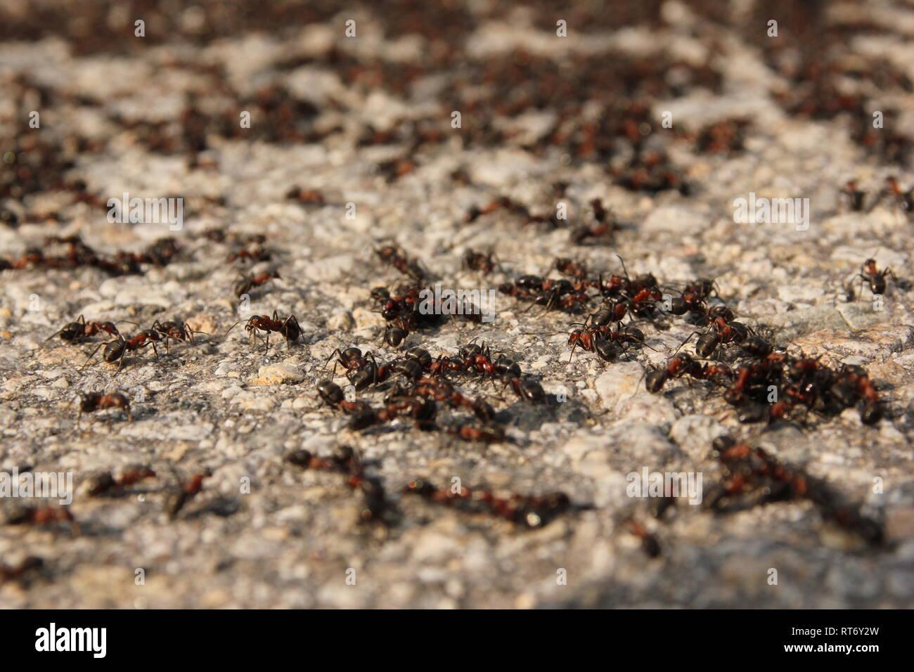 Viele große Ameisen auf der Straße. Ein Detail einer Gruppe von ihnen. Stockbild