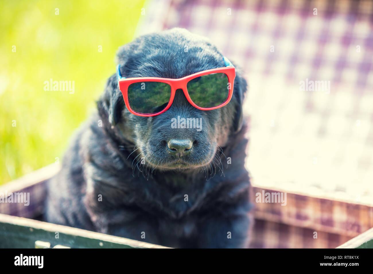 Labrador Retriever Welpen in Sonnenbrille sitzt in einem Koffer auf dem Gras im Sommer Stockfoto