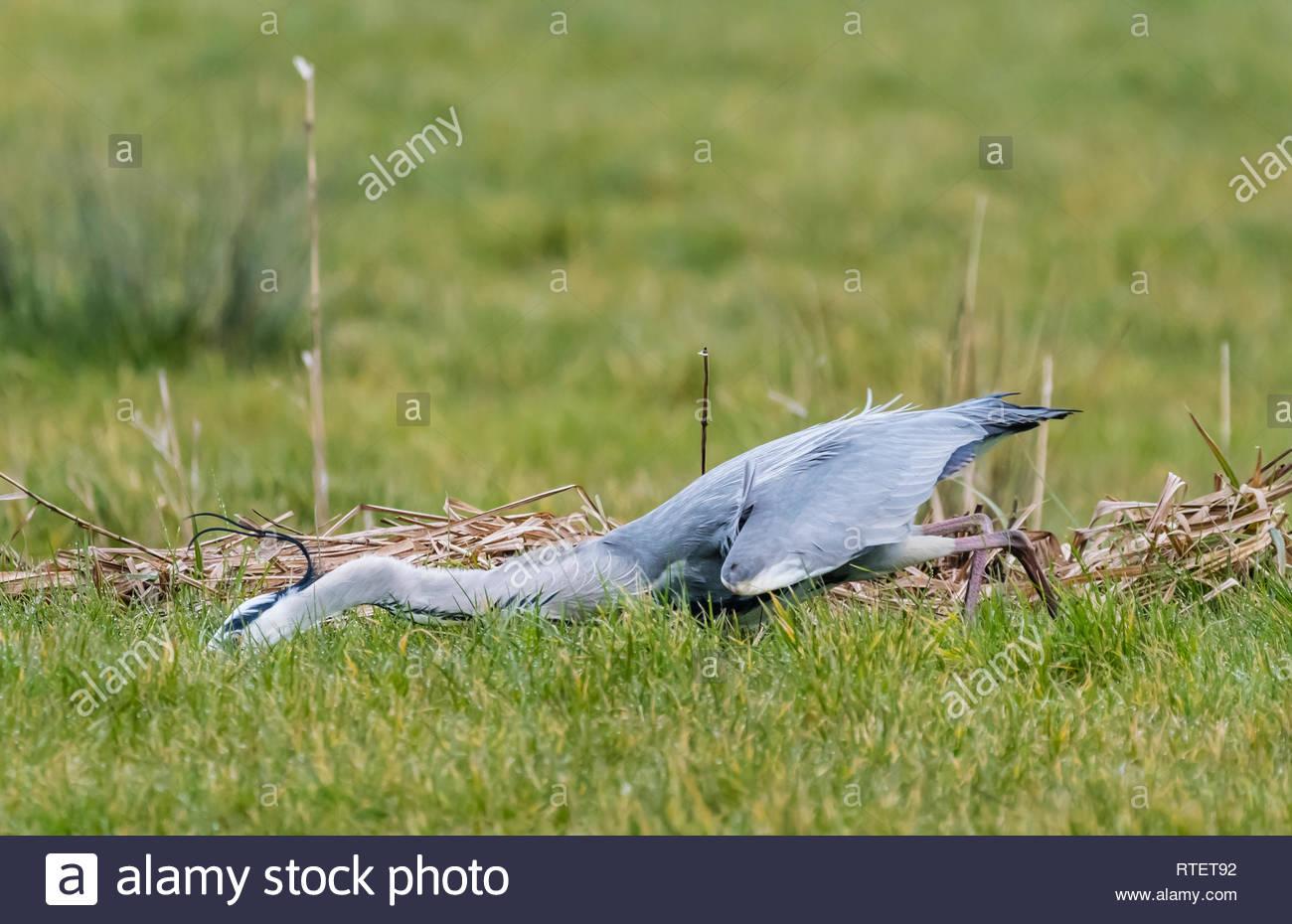 Nach Graureiher (Ardea cinerea), lurching leitet ein Tier zu greifen bei der Jagd und auf der Suche nach Nahrung im Winter in West Sussex, UK. Stockbild