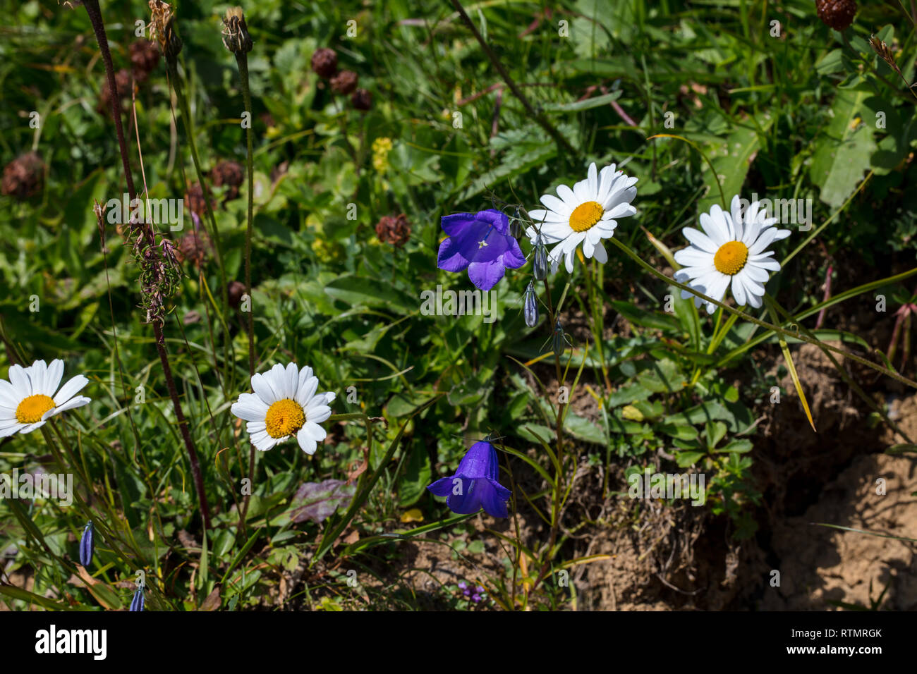 Margaritas Und Glockenblumen Auf Der Wiese Im Schweizer Apls