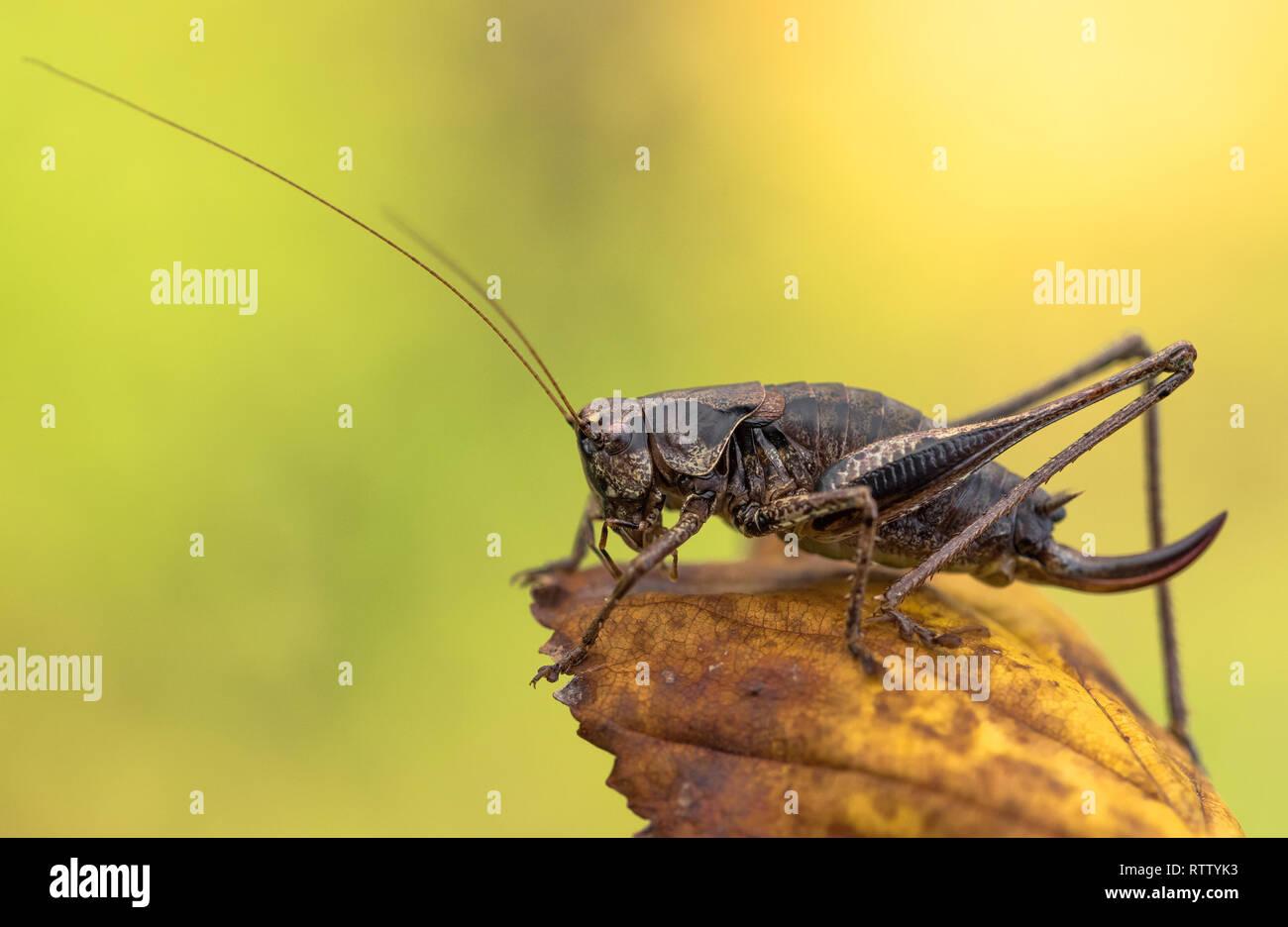 Die dunklen Busch - Kricket Pholidoptera griseoaptera in der Tschechischen Republik Stockbild