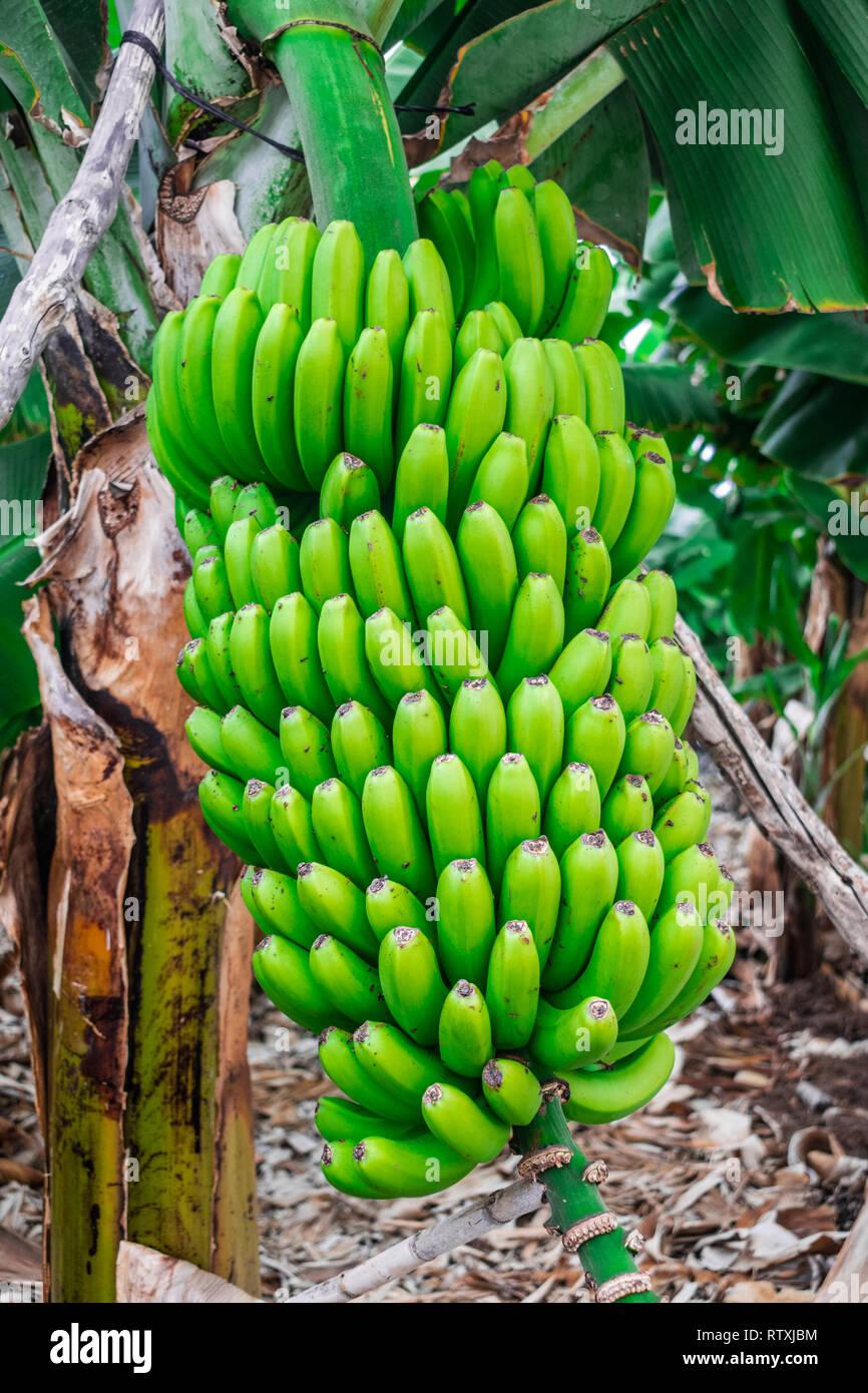 Grüne Bananen wachsen in der Anlage, Kanarische Inseln, Spanien Stockbild