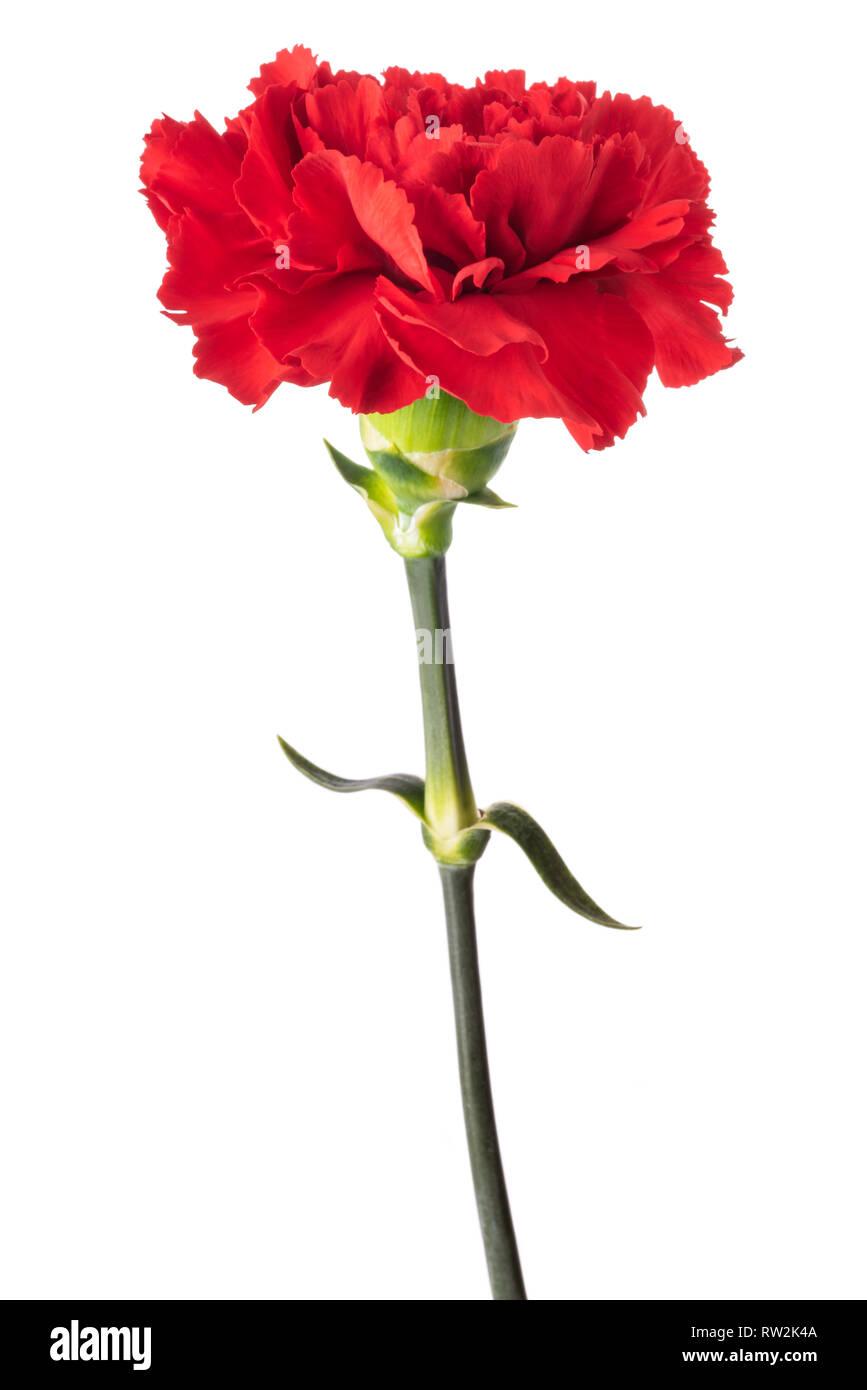 Berühmt Rote Nelke Blume isoliert auf weißem Hintergrund Stockfoto, Bild #HH_32
