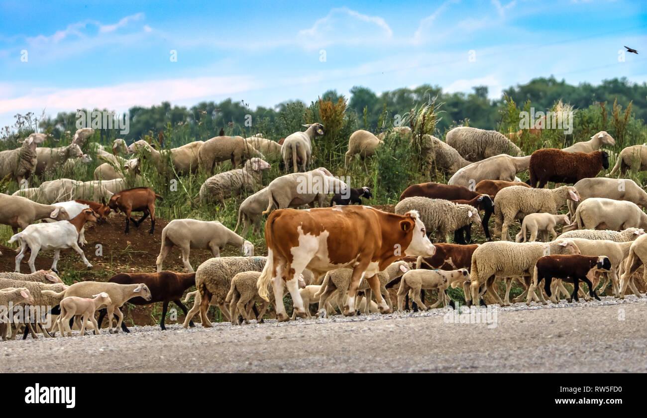 Eine einsame Kuh in einer Reihe mit Schafherde Stockbild