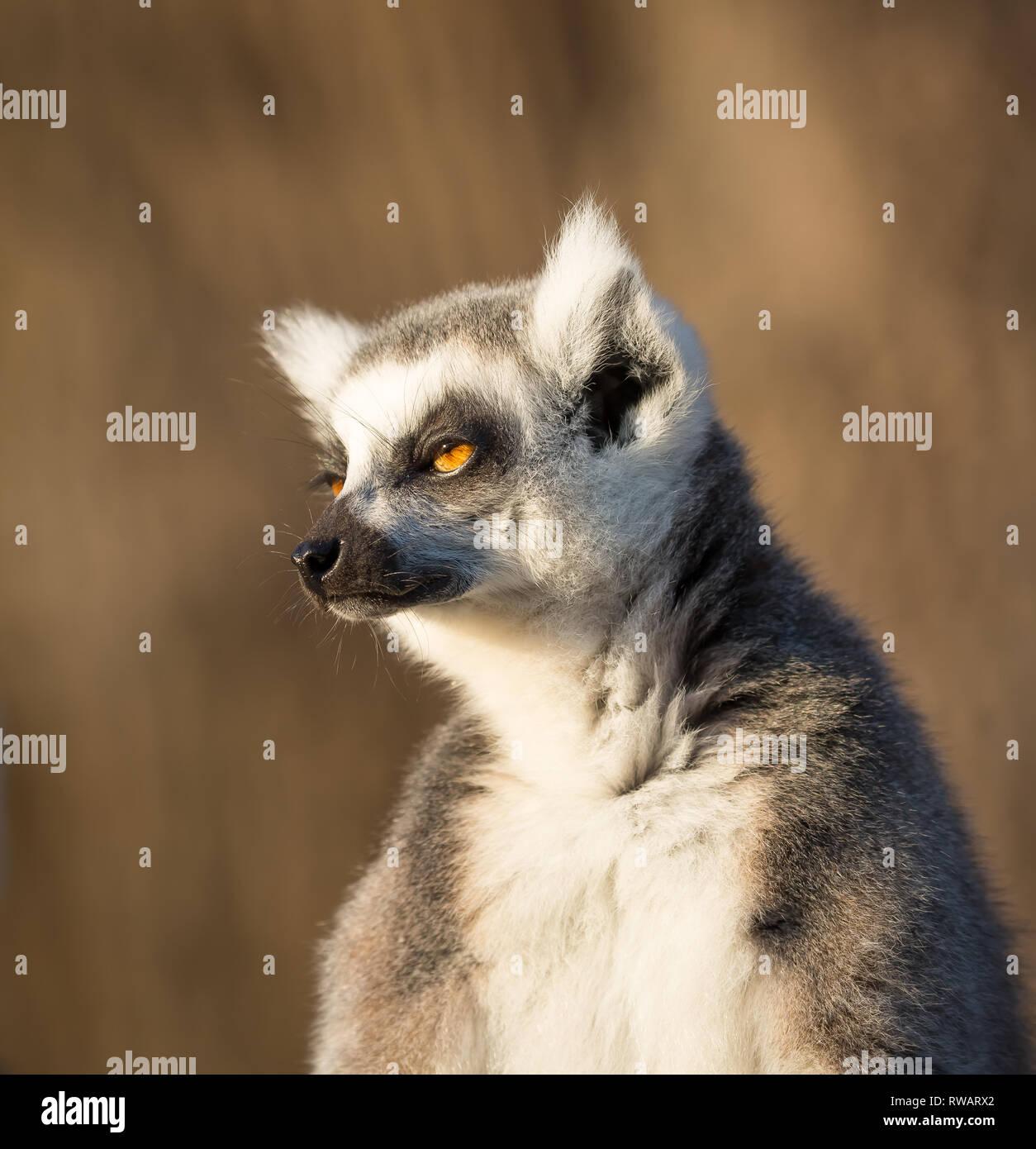 Detaillierte, portrait Nahaufnahme von einem Ring-tailed Lemur (Lemur catta). Stockbild