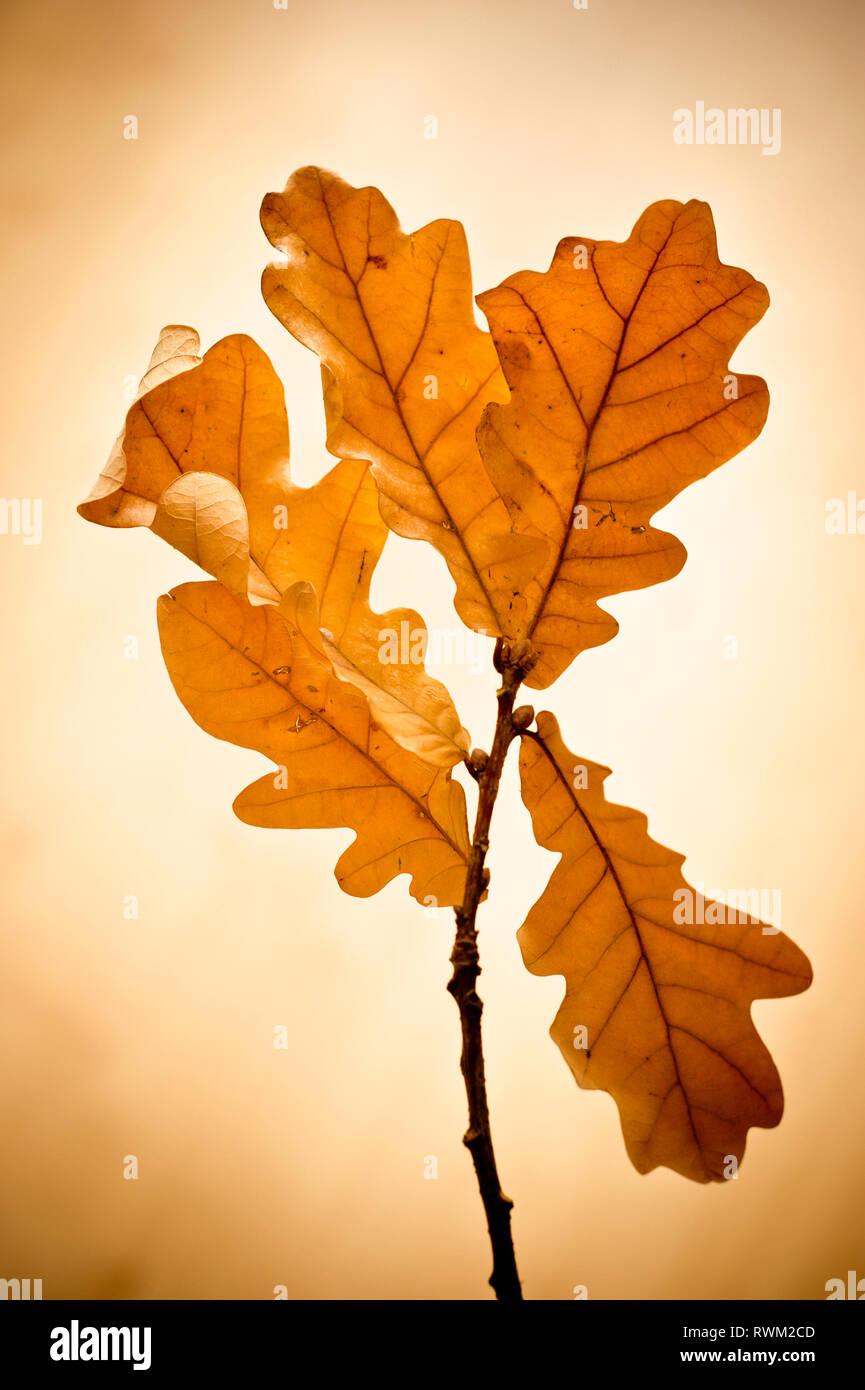 Zweig der Eiche Blätter in Herbstfarben Stockbild
