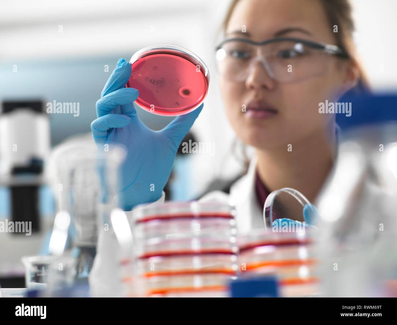 Wissenschaftler untersuchen die Mikrobiologische Kulturen in Petrischalen in Labor Stockfoto
