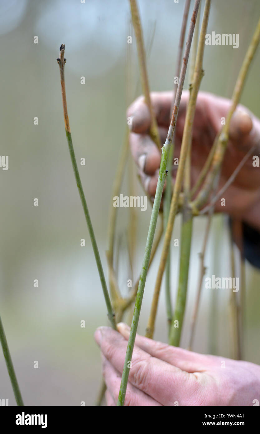 Welken Triebe einer Esche Leiden von ash dieback Pilz. Stockbild