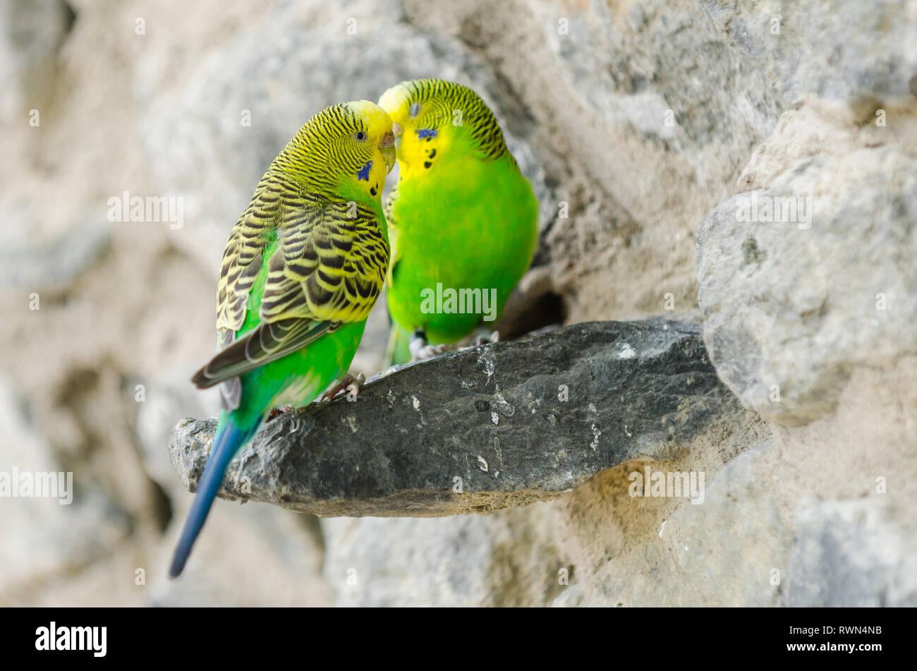 Zwei Kanarienvögel ein einer Steinmauer Stockbild