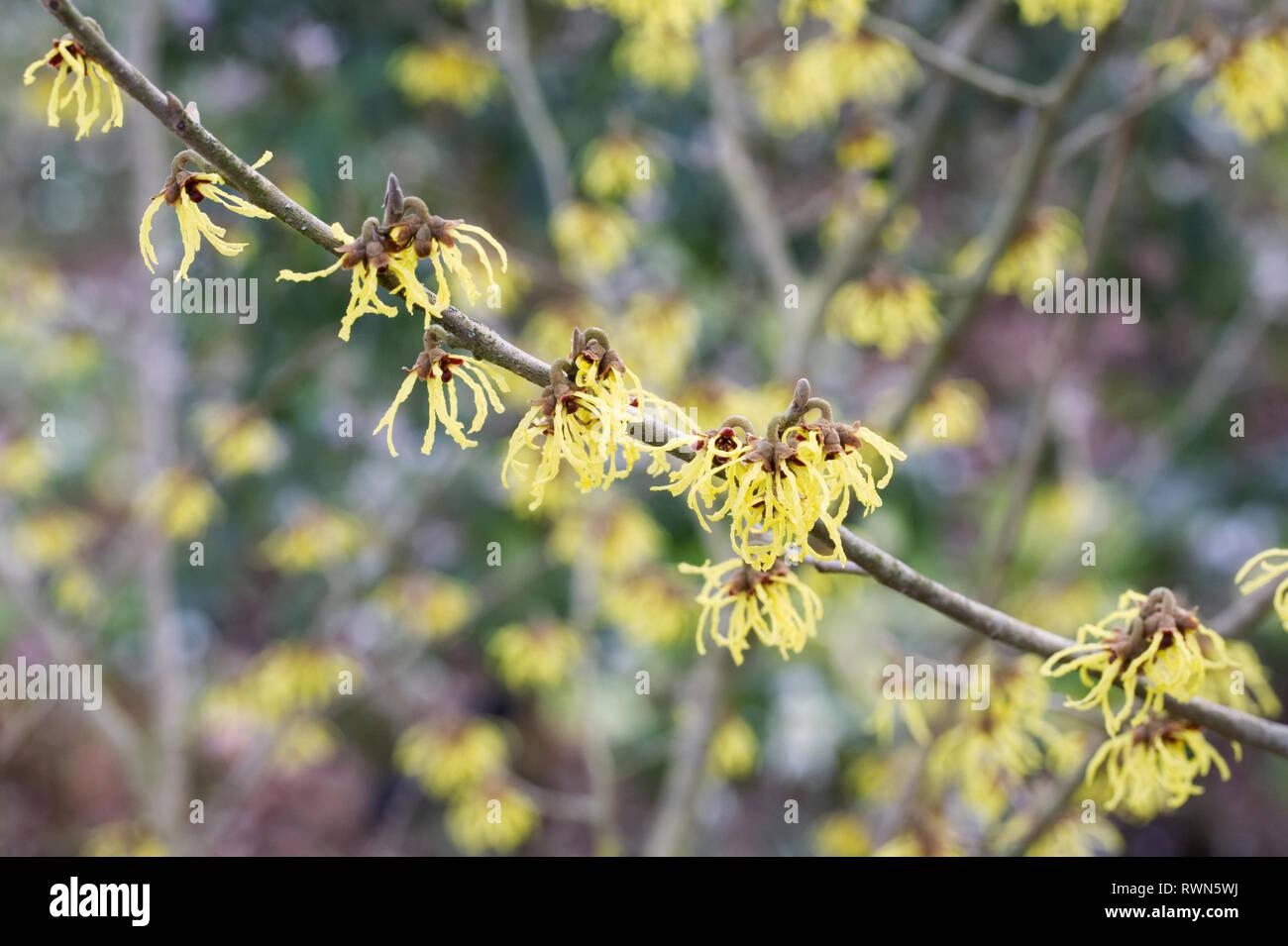 Etwas Neues genug Hamamelis Baum Winter Stockfotos & Hamamelis Baum Winter Bilder &WO_13