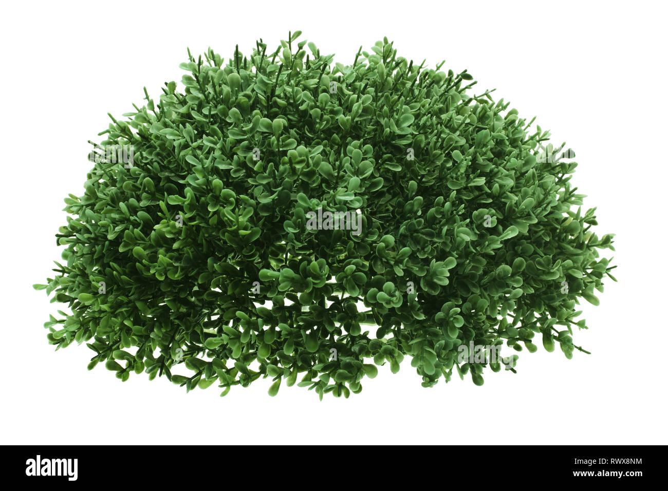 Grüner Strauch auf weißem Hintergrund Stockfoto