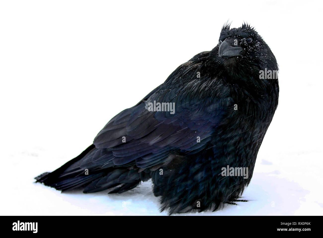 40,524.02017 - schöner großer schwarzer Vogel Rabe (Corvus Corax, Corvidae - 20' langen Schnabel Schwanzspitze), stehend im Schneesturm -22°F Jasper, Canada, BC Stockbild