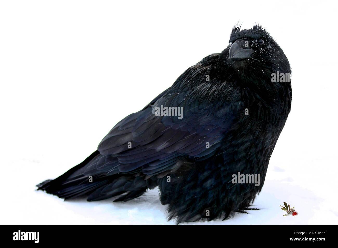 40,524.02018 - schöner großer schwarzer Vogel Rabe (Corvus Corax, Corvidae - 20' langen Schnabel Schwanzspitze), stehend im Schneesturm -22°F Jasper, Canada, BC Stockbild