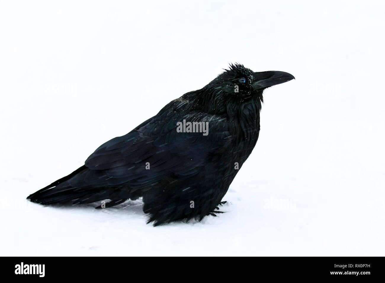 40,524.02021 - schöner großer schwarzer Vogel Rabe (Corvus Corax, Corvidae - 20' langen Schnabel Schwanzspitze), stehend im Schneesturm -22°F Jasper, Kanada Stockbild