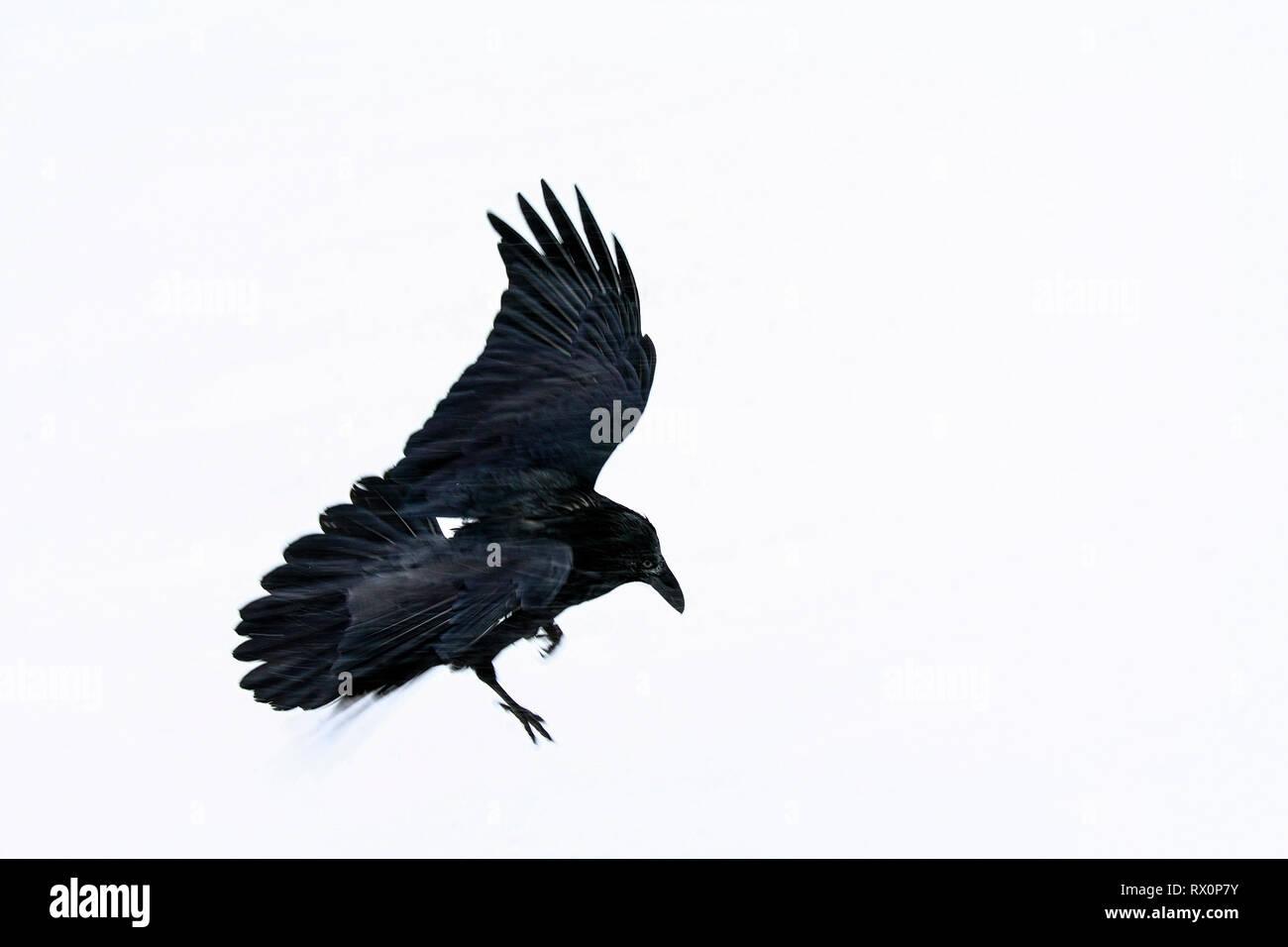 40,524.02030 - Dieses schöne große schwarze Vogel im Schneesturm Fliegen ist ein Rabe (Corvus Corax, Corvidae - in der Nähe der 20' langen, Schnabel bis zur Spitze des Schwanzes), Jasper Stockbild