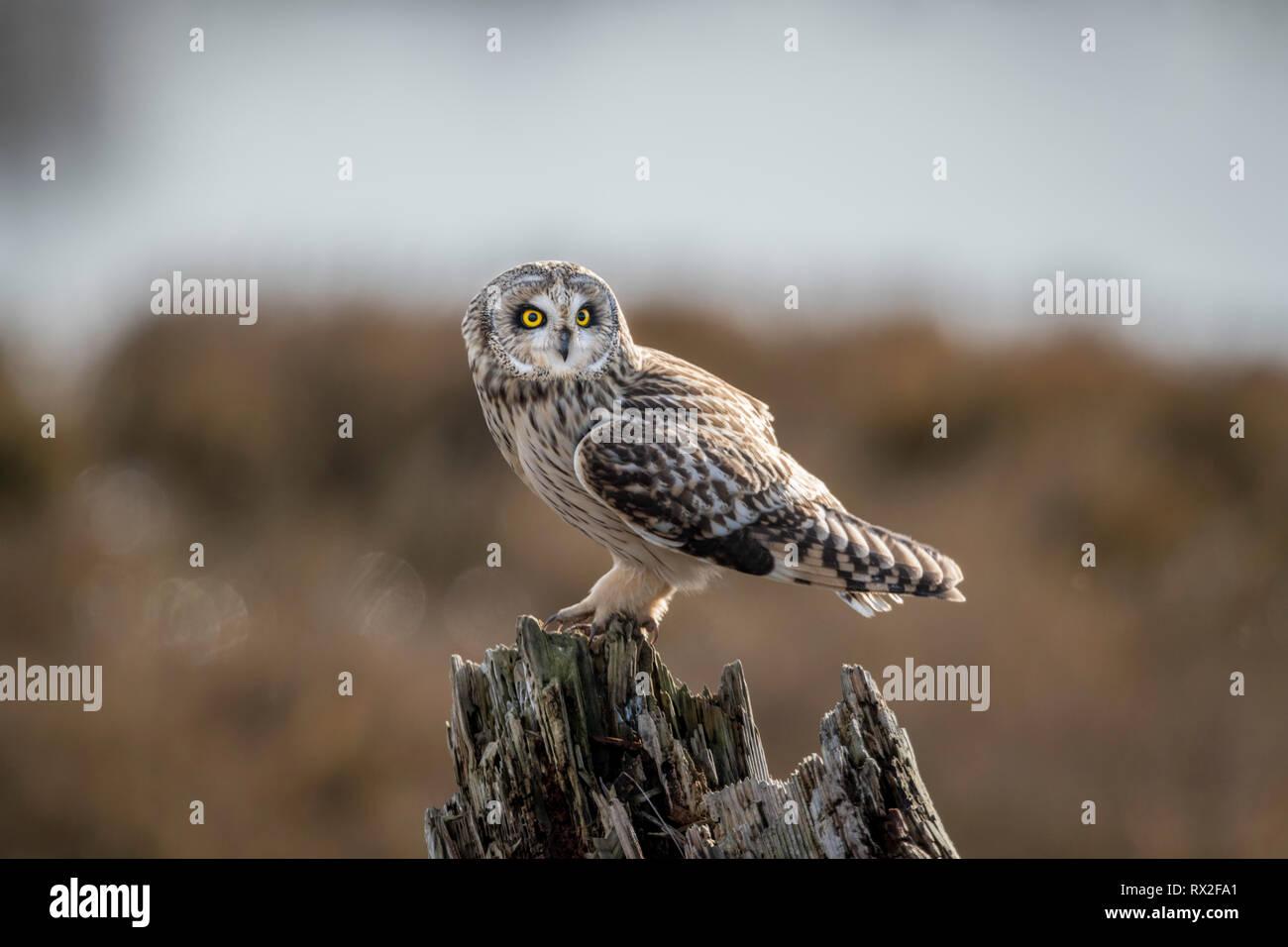 Jagt durch niedrige über den Boden zu fliegen, oft schweben vor dem Abwurf auf Beute. Angeblich findet Beute meistens durch Sound, sondern auch vom Sehen. Mai Jagd nach Tag, Stockfoto