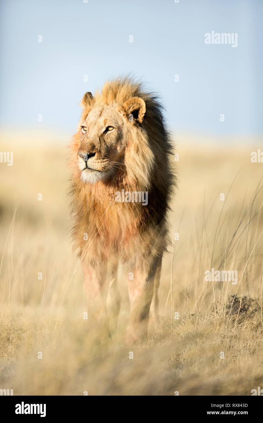 Männliche Löwe in der Nähe von Halali im Etosha National Park, Namibia. Stockfoto