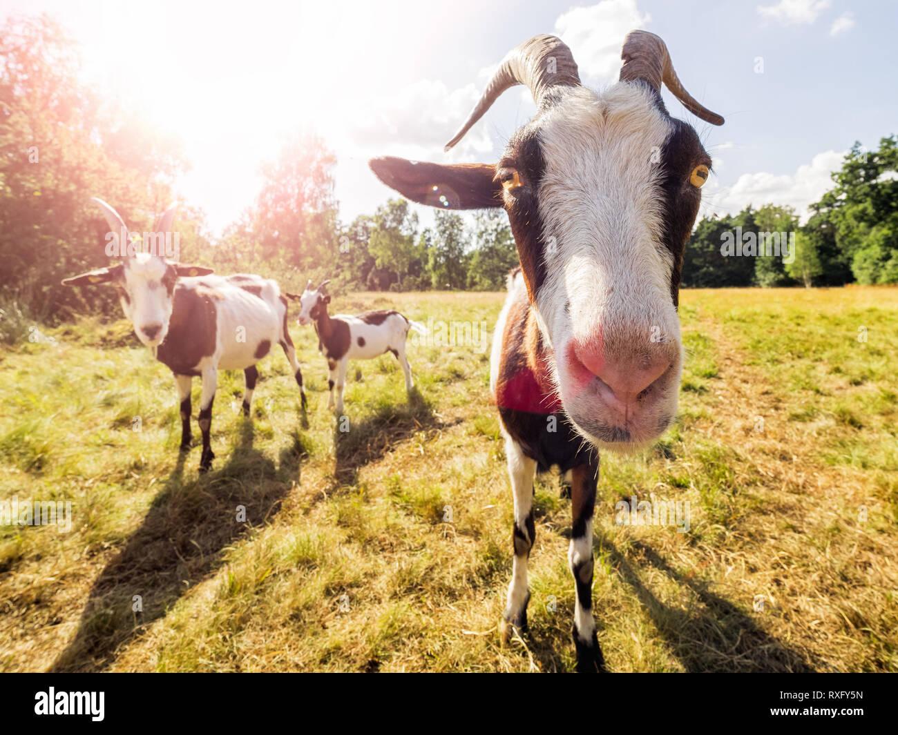 Nahaufnahme einer Ziege Stockfoto