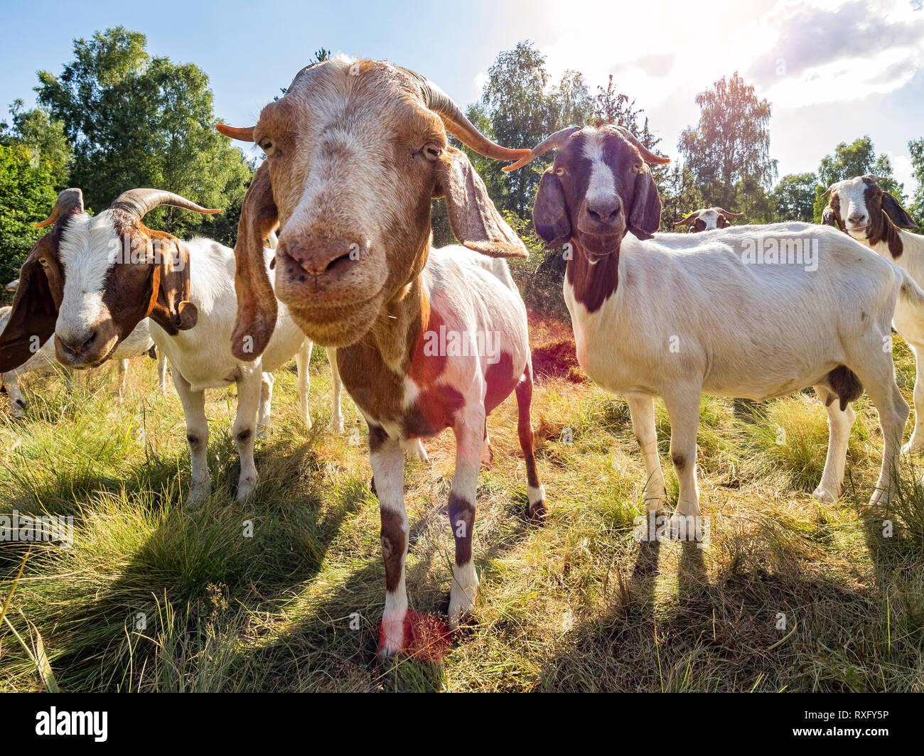 Nahaufnahme einer Ziege und Ziegen im Hintergrund Stockbild