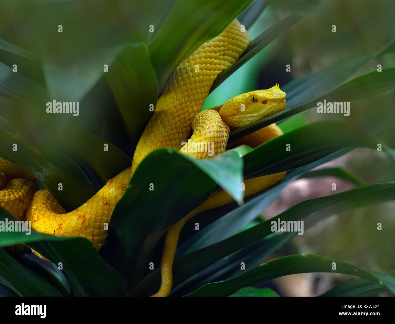 Wimpern viper Anolis schlegelii Costa Rica Februar Stockbild
