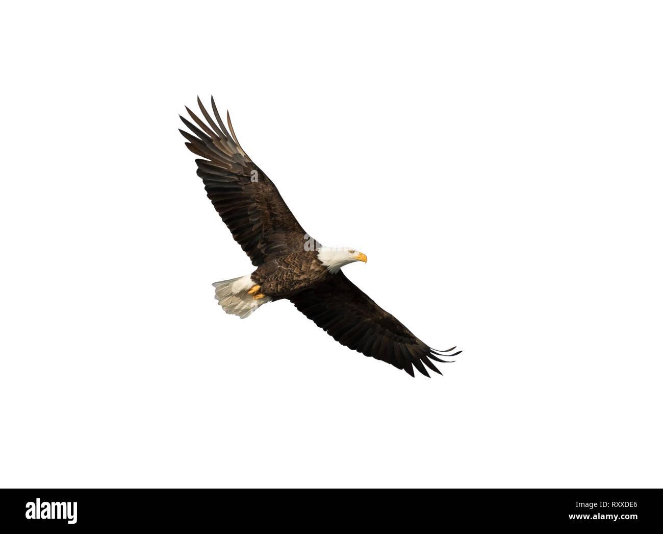 Adler Isoliert Stockfotos Adler Isoliert Bilder Alamy