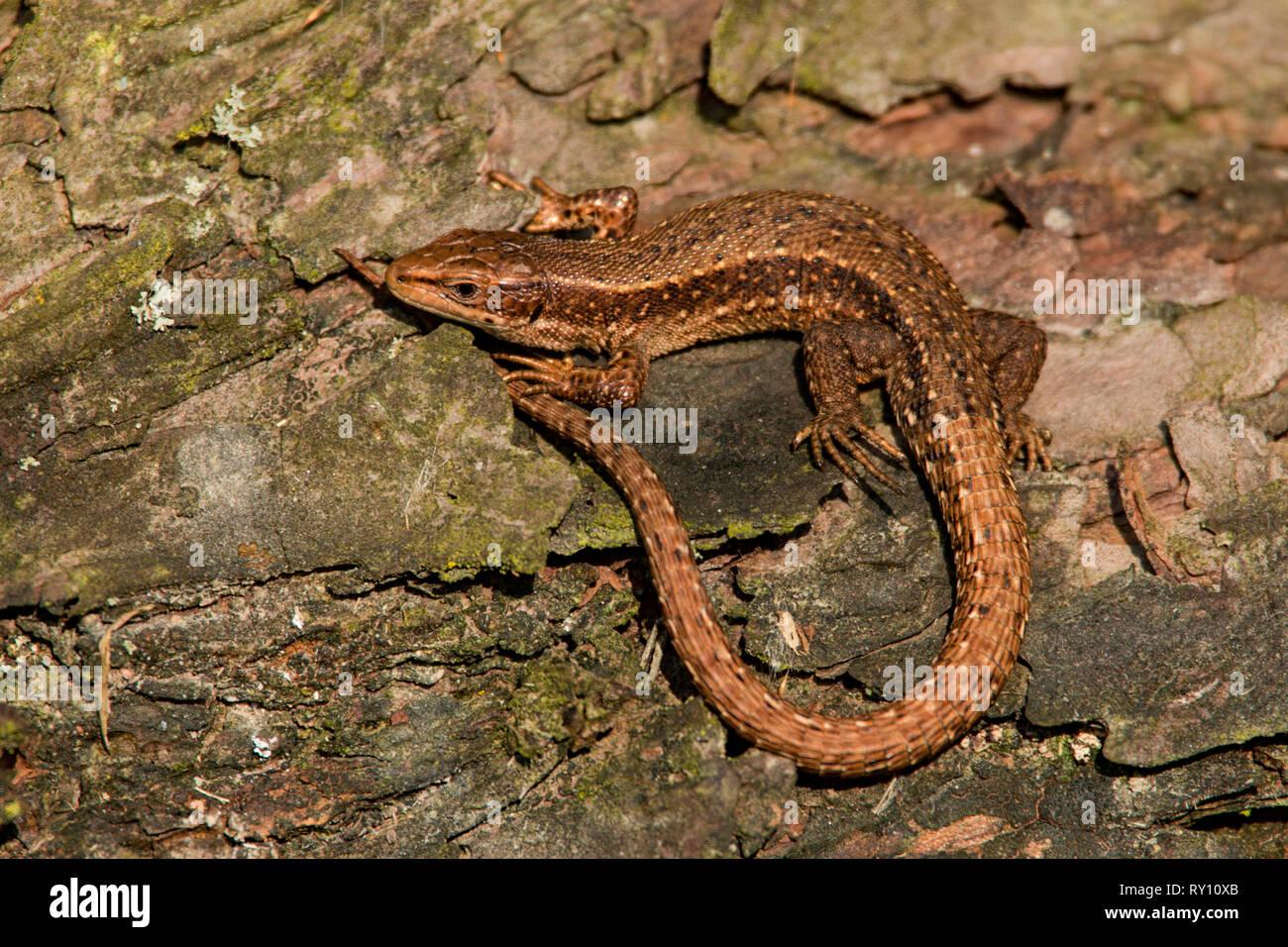 Gemeinsame Lizard (Lacerta vivipara) Stockfoto