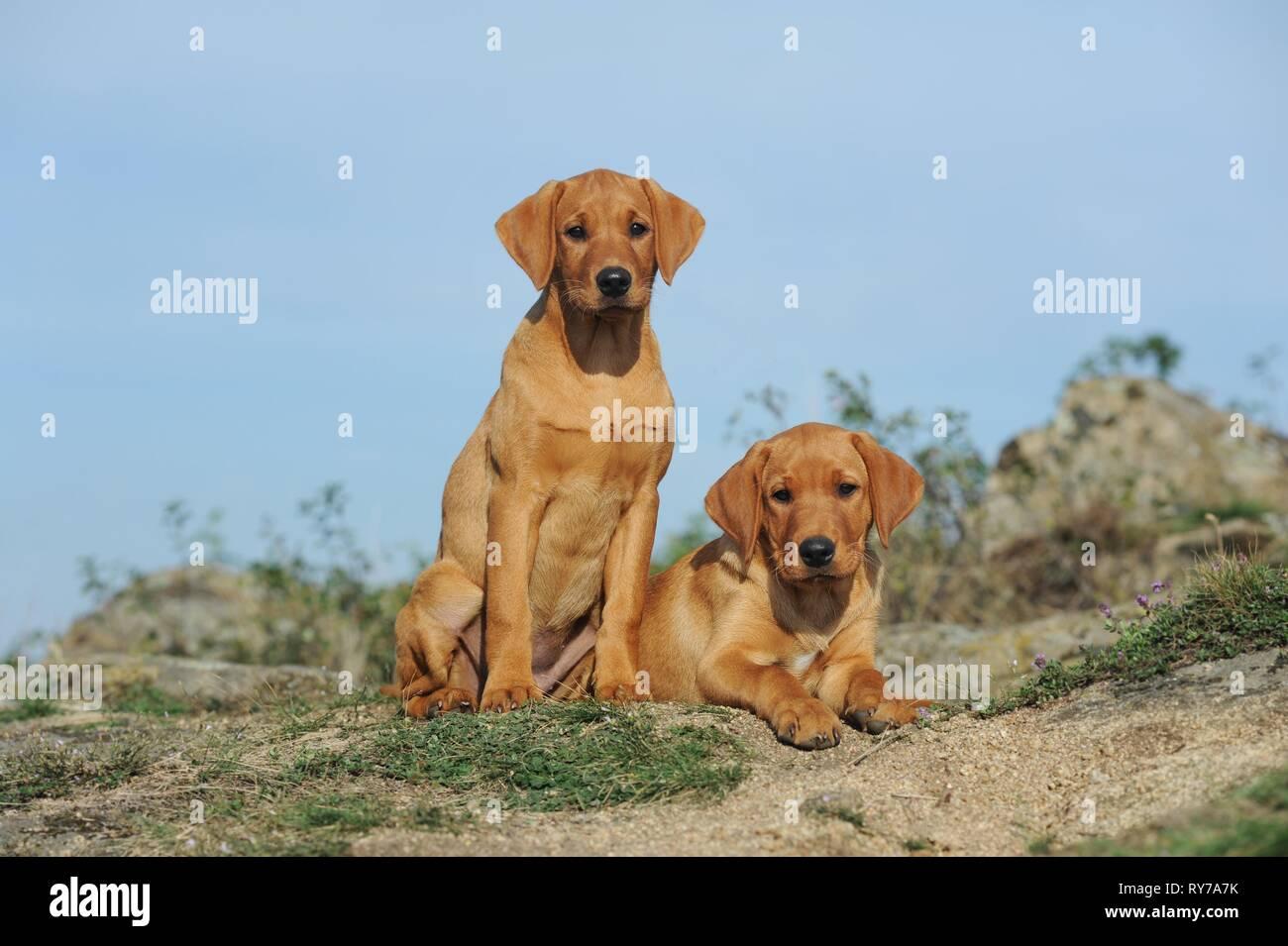 Labrador Retriever Gelb Welpen Die Nebeneinander Sitzen Osterreich Stockfotografie Alamy