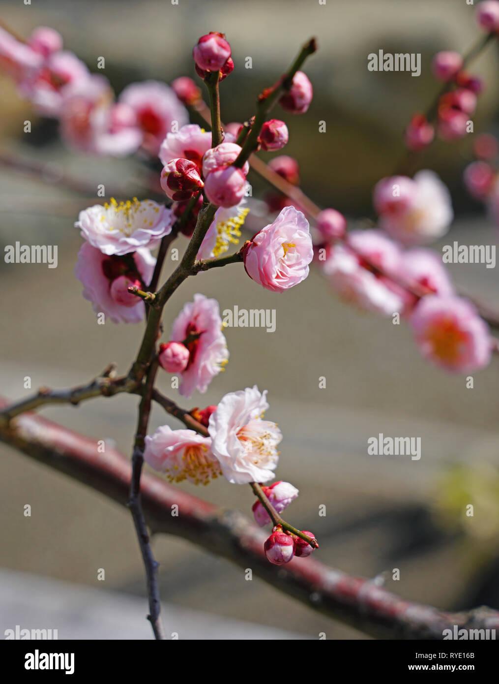 Rosa Blume blüht der Japanischen ume Aprikosenbaum, Prunus japanische Aprikose, im Winter in Japan Stockbild