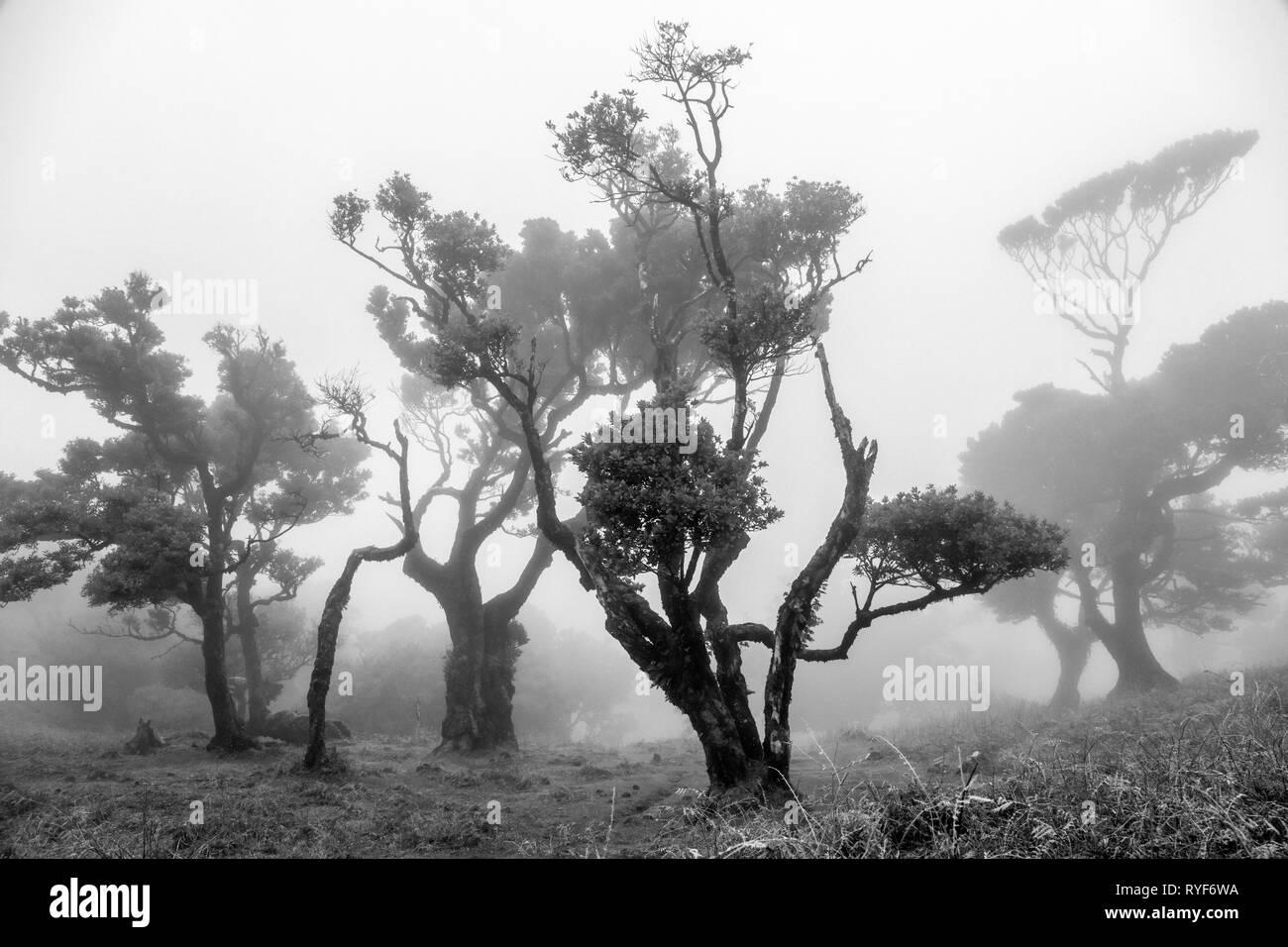 Laurel Bäume im Nebel im Teil der alten Laurisilva Wald in der Nähe von Fanal, Madeira Stockbild