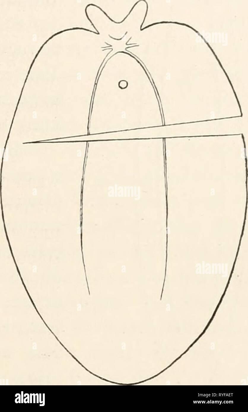Eine Lektüre in die Vergleichende gehirnphysiologie und vergleichende Kulturgeschichte, mit besonderer Berücksichtigung der wirbellosen Thiere einleitungindiev 00 loeb Jahr: 1899 Versuche über sterben Geliirnpliysiologie der Polytropos. 51 Als ob keine Durchschneidung stattgefunden hätte. Nach einiger Zeit machte das orale Stück Kehrt, kroch über den Rücken des Stückes aboralen hinweg, wobei dieses passiv nachgezogen und auf den Rücken gelegt wurde. Es drehte sich aber sofort in die Bauchlage zurück und bewegte sich dann in derselben Richtung wie das orale Stück. Aenderungen der Helvetica gingen auch nu Stockbild