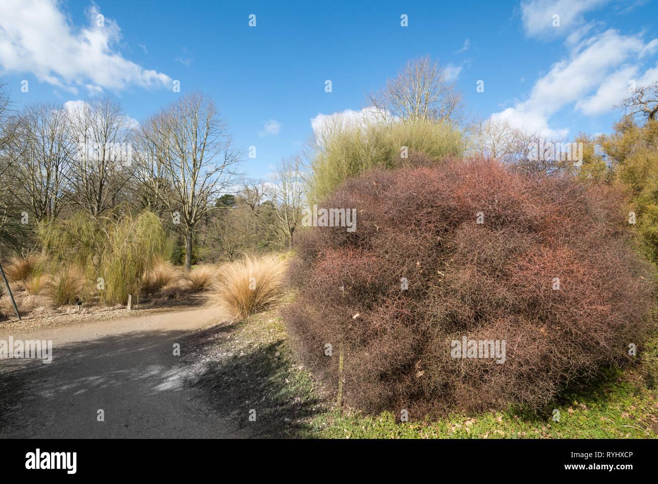 Blick auf den Garten in Neuseeland Savill Garden auf der Surrey/Berkshire, UK, im März Stockbild