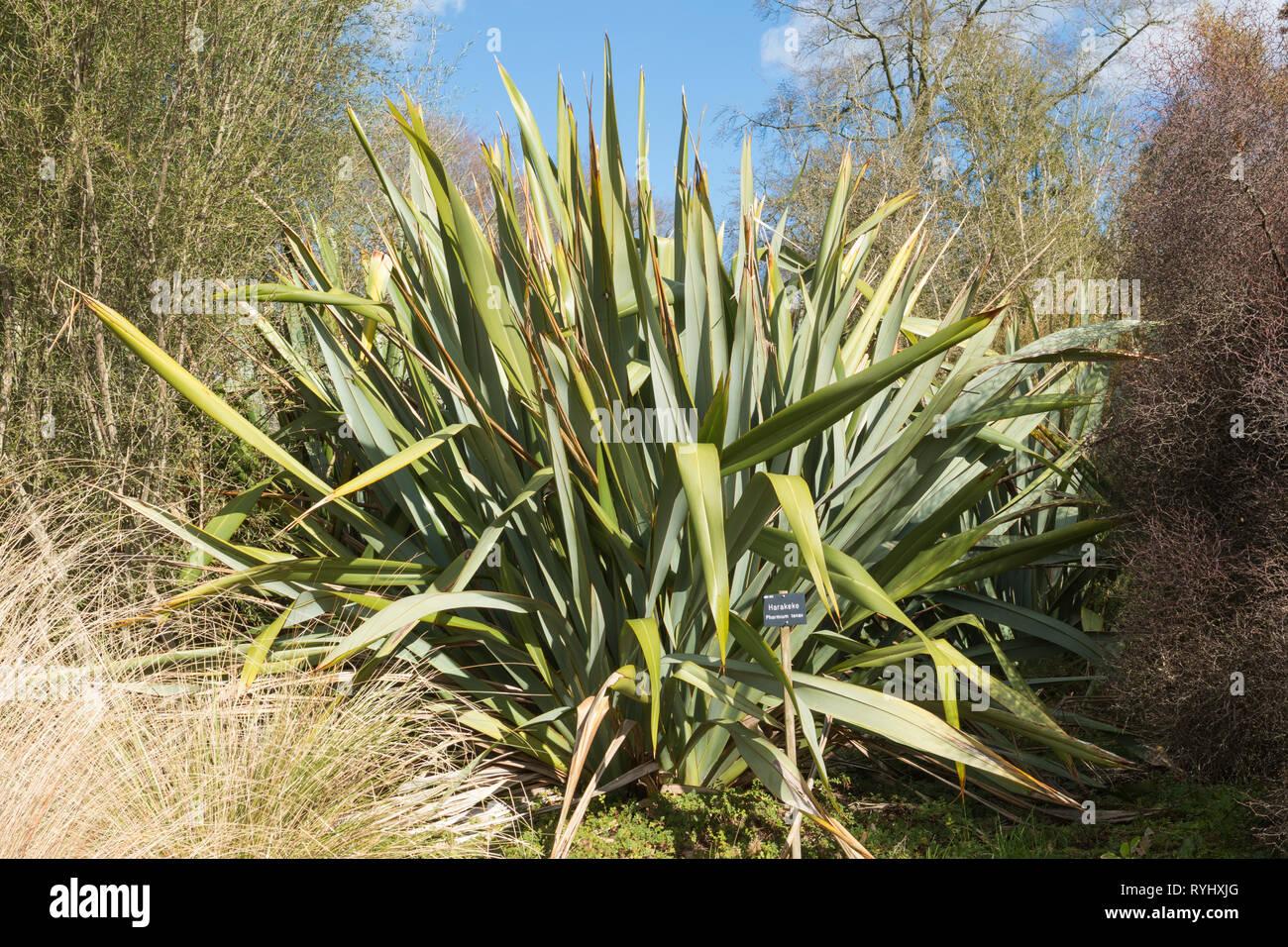 Harakeke, phormium Tenax, oder Neuseeland Flachs, ein immergrüner, mehrjährige Pflanze, die bei der Herstellung von Matten, Körbe, Bekleidung Stockfoto