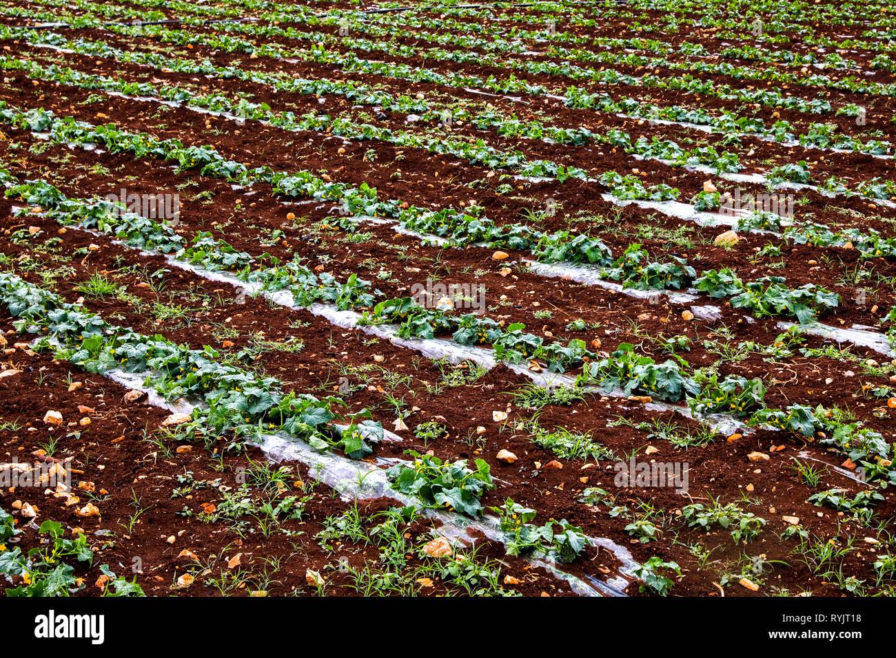 Feld, die aiman Mohammed Omar Dararmi, den ein Client von ACAD in Ras al Farrah, West Bank, Palästina. Stockbild