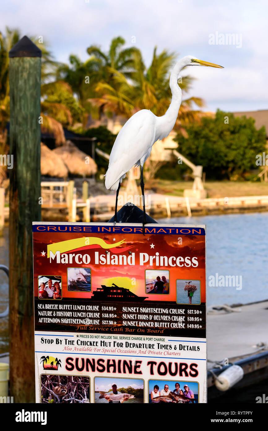 Silberreiher (Ardea alba) auf einem Boot Tour Anmelden am Rose Marina, Marco Island, Florida, USA gehockt Stockbild