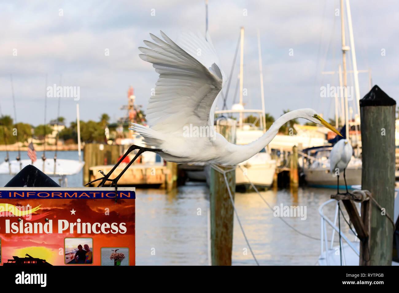 Silberreiher (Ardea alba), die von einem Boot Tour Anmelden am Rose Marina, Marco Island, Florida, USA Stockbild