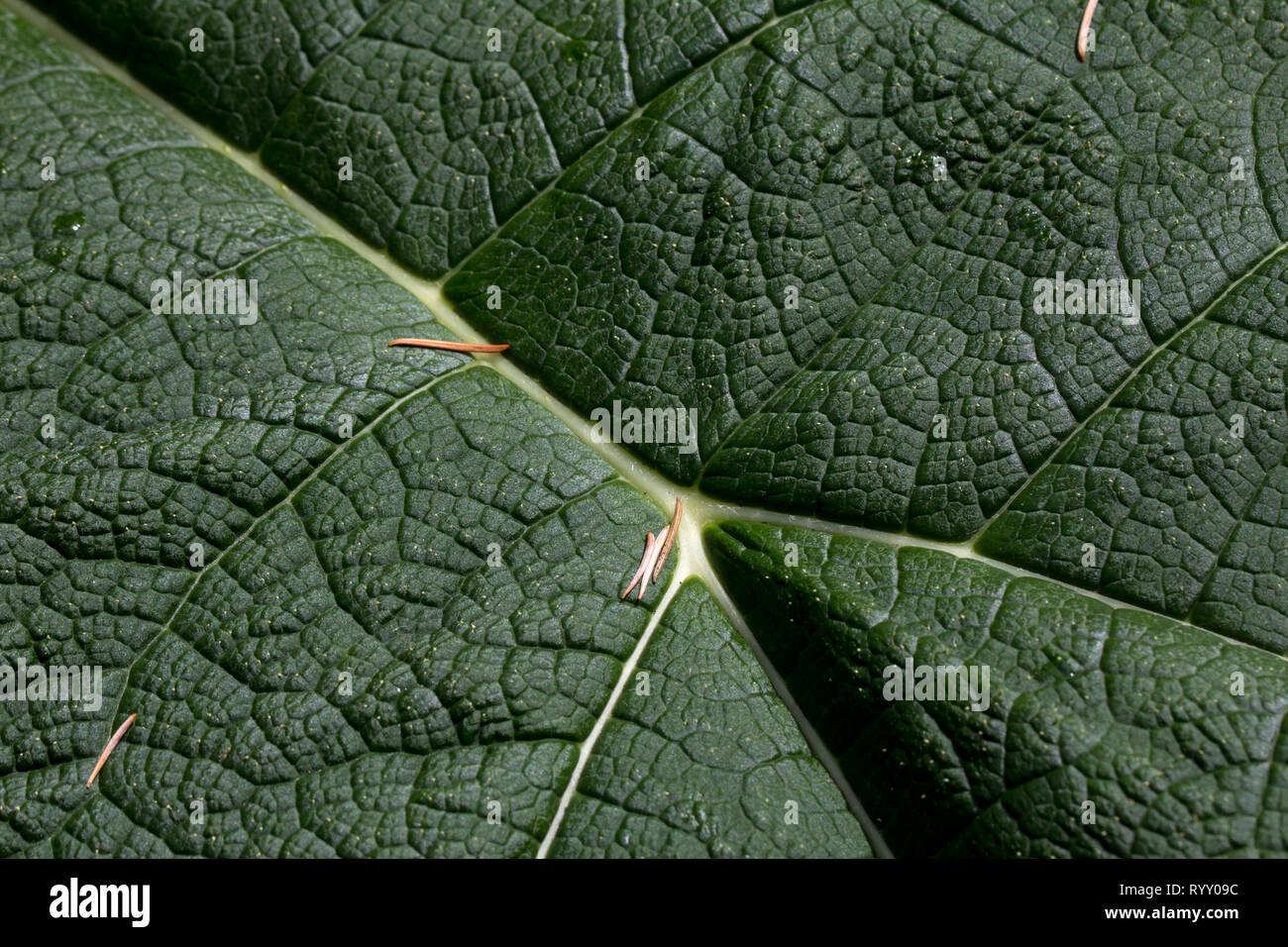 In der Nähe von riesigen Rhabarber Blatt sieht aus wie Luftaufnahme von grasbewachsenen Hügeln mit weißen Flüsse und Bäche Stockbild