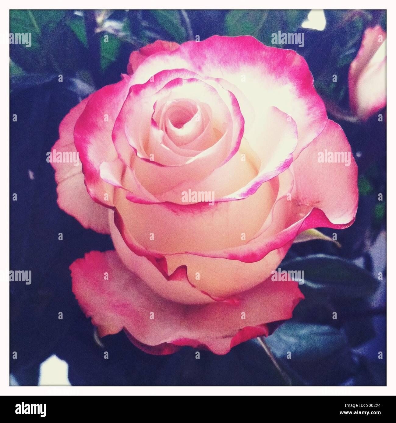 Eine Nahaufnahme von einem rot-weißen farbigen rose Blume Stockbild