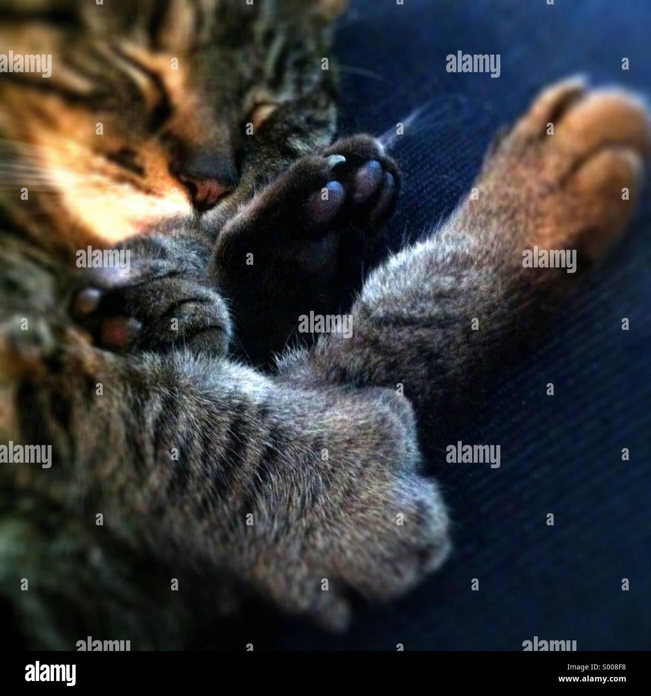 Katze schläft, Fokus auf Pfoten Stockbild