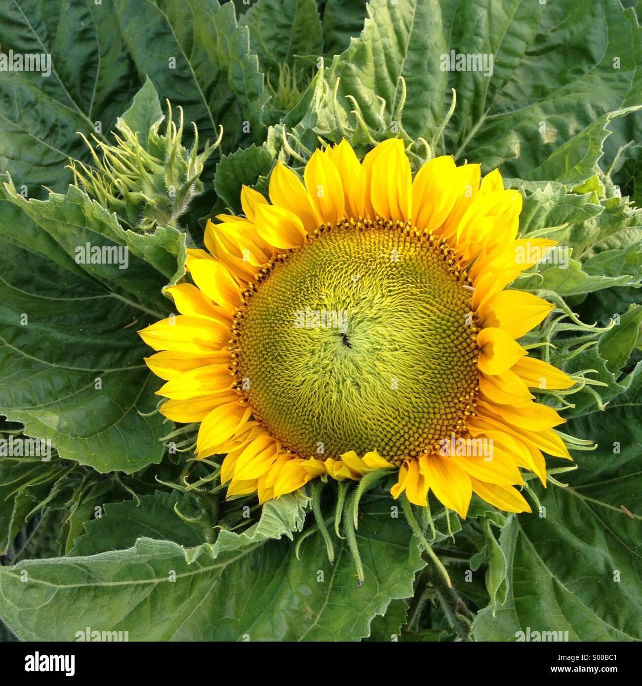 Sonnenblume, Kalifornien Stockbild