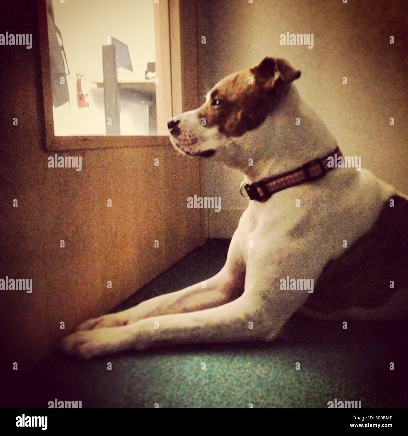Ein Pit Bull Terrier blickt Hund aus einer Türfenster Stockbild
