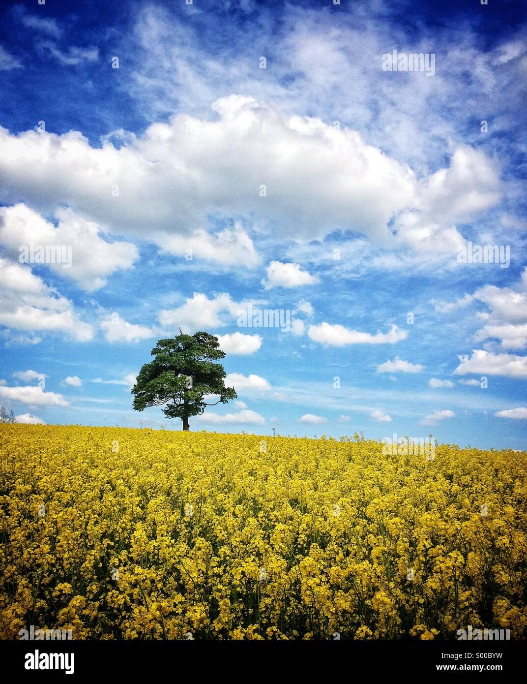 Einsamer Baum in einem Feld von Ölsaaten, Warwickshire, UK Stockbild