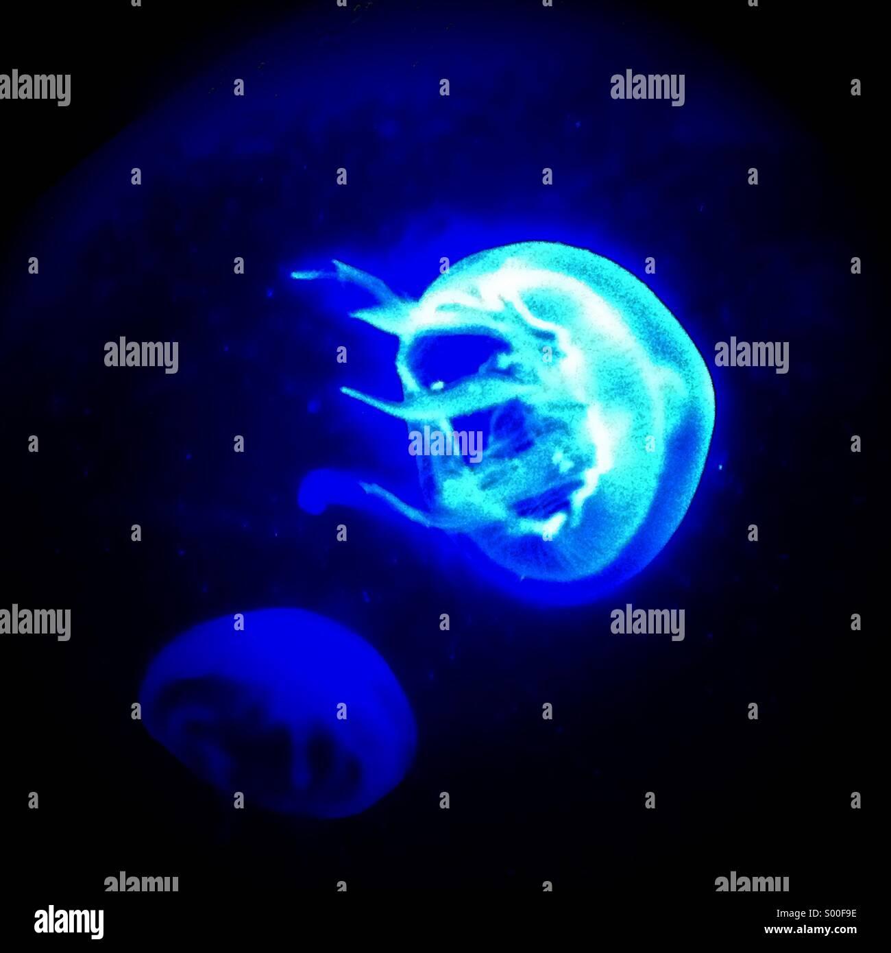 Mond-Quallen (Aurelia Golden) Stockbild