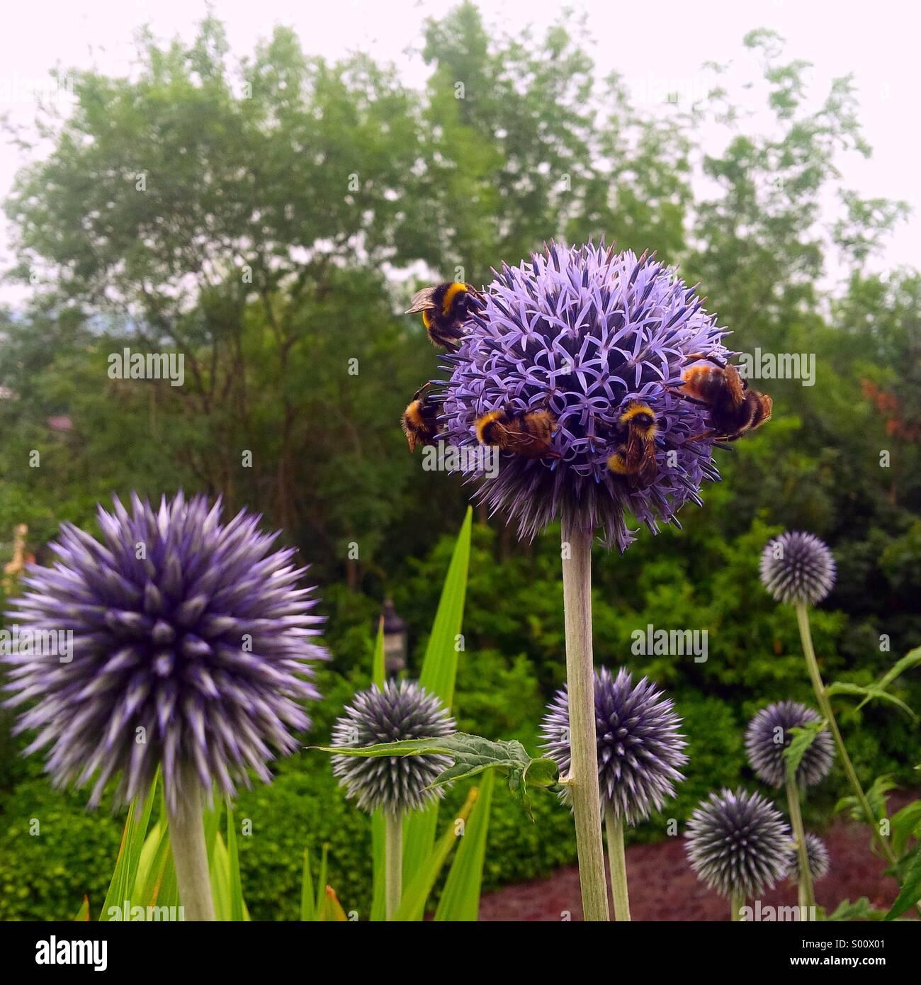 Bumble Bees ganz eine Distel Blume in einem englischen Garten. Stockbild