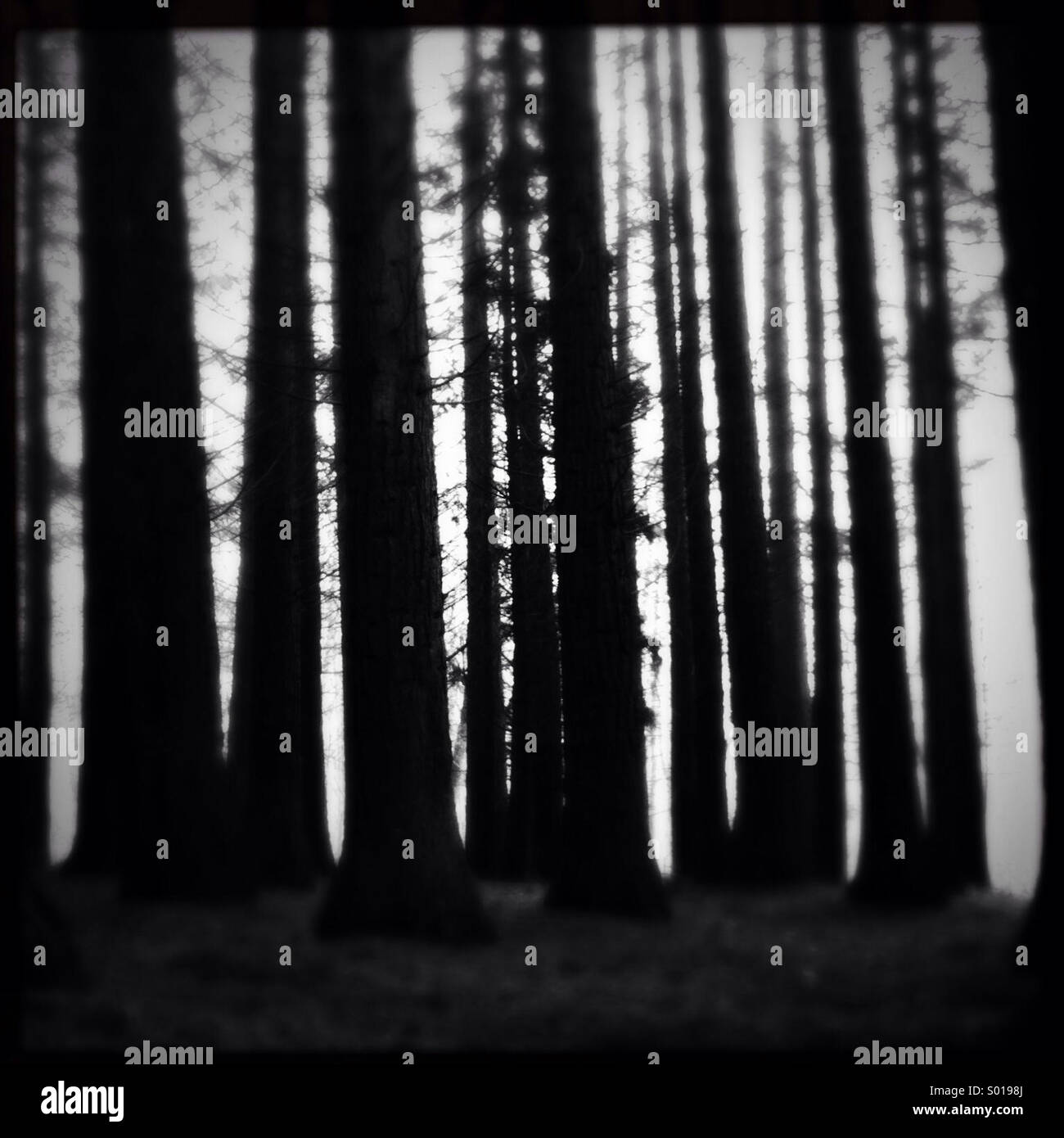 Hohe dicht gepackten silhouetted Baumstämmen in einem Nadelwald. British Columbia, Kanada. Stockbild