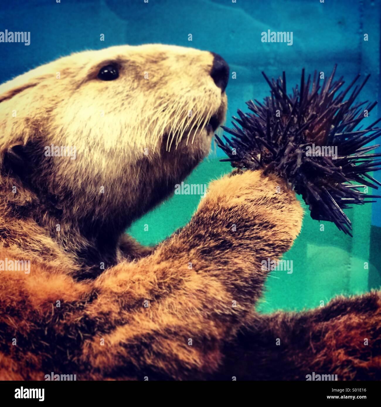 Sea Otter Essen Seeigel Stockbild